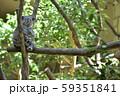 コアラの母子 〜赤ちゃんコアラを抱っこする母コアラ〜 59351841