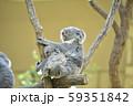 コアラの母子 〜赤ちゃんコアラを抱っこする母コアラ〜 59351842