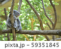 コアラの母子 〜赤ちゃんコアラを抱っこする母コアラ〜 59351845