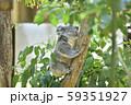 コアラの赤ちゃん 59351927