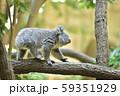 コアラの赤ちゃん 59351929