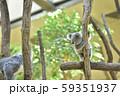 コアラの赤ちゃん 59351937