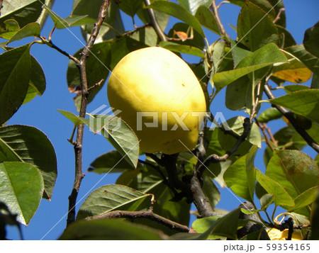 香りの良い実に熟したカリン実  59354165
