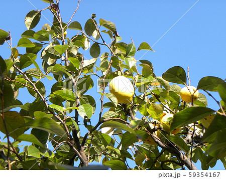 香りの良い実に熟したカリン実  59354167