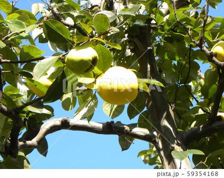香りの良い実に熟したカリン実  59354168
