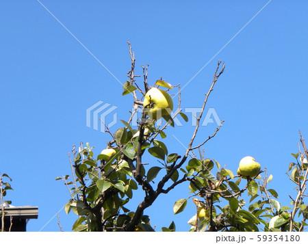 香りの良い実に熟したカリン実  59354180