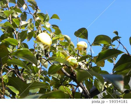 香りの良い実に熟したカリン実  59354181