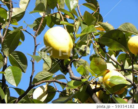 香りの良い実に熟したカリン実  59354182