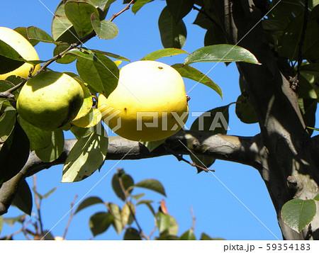 香りの良い実に熟したカリン実  59354183