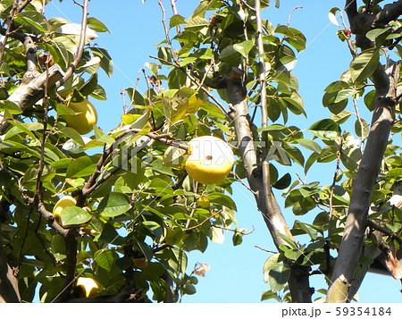 香りの良い実に熟したカリン実  59354184