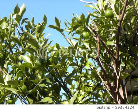 未熟な緑色の金柑の実 59354224