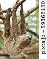 【ナマケモノ】木の枝にぶら下がるフタユビナマケモノ 59362130