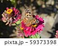 ヒメアカタテハ 59373398