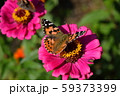 ヒメアカタテハ 59373399