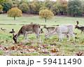 秋めいてきた大きな公園で芝生の上で草を食べたる小鹿達 ロンドン郊外のリッチモンドパークにて 59411490