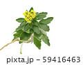 イソギク 59416463