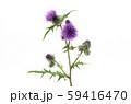 タイアザミ 59416470