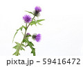 タイアザミ 59416472