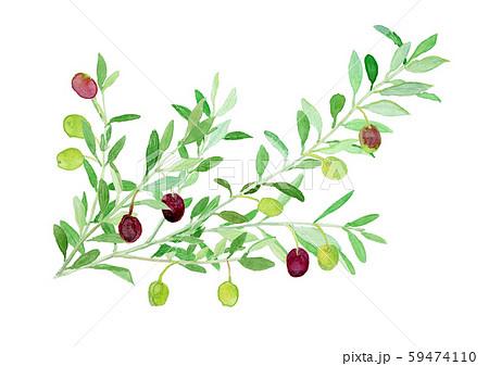 Olea europaea オリーブの枝 59474110