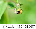 ナミテントウ 59495067