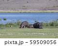 アンボセリ湖とカバ 59509056