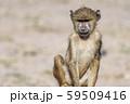 東アフリカのヒヒ 59509416