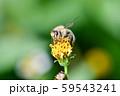 ニホンミツバチ 59543241