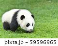 ハイハイする赤ちゃんパンダ 59596965