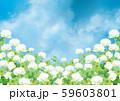 シロツメクサ:シロツメクサ 春 春の花 草原 自然 花 4月 群生 晴天 青空 満開 59603801