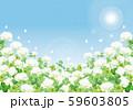 シロツメクサ:シロツメクサ 春 春の花 草原 自然 花 4月 群生 晴天 青空 満開 59603805