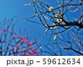 かわいらしい、春の梅の花。 59612634