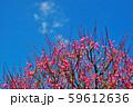 かわいらしい、春の梅の花。 59612636