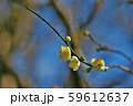 かわいらしい、春の梅の花。 59612637