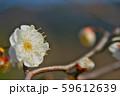 かわいらしい、春の梅の花。 59612639