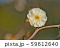 かわいらしい、春の梅の花。 59612640