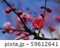 かわいらしい、春の梅の花。 59612641