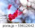 かわいらしい、春の梅の花。 59612642