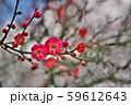 かわいらしい、春の梅の花。 59612643