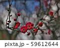 かわいらしい、春の梅の花。 59612644