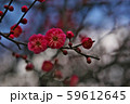 かわいらしい、春の梅の花。 59612645