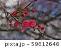 かわいらしい、春の梅の花。 59612646