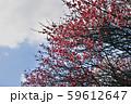かわいらしい、春の梅の花。 59612647