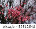 かわいらしい、春の梅の花。 59612648