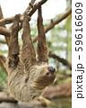 【ナマケモノ】木の枝にぶら下がるフタユビナマケモノ 59616609