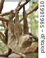 【ナマケモノ】木の枝にぶら下がるフタユビナマケモノ 59616610