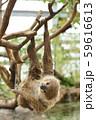 【ナマケモノ】木の枝にぶら下がるフタユビナマケモノ 59616613