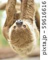 【ナマケモノ】木の枝にぶら下がるフタユビナマケモノ 59616616
