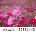 ピンクのコスモス 59661443