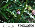 ミツバチ 59688659