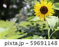 真夏のひまわり 59691148